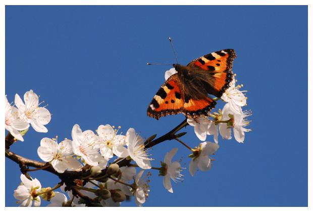 foto's, Prunus domestica 'Victoria', bloesem