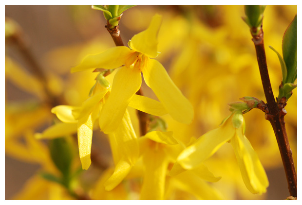 foto, Forsythia of Chinees klokjes, plant