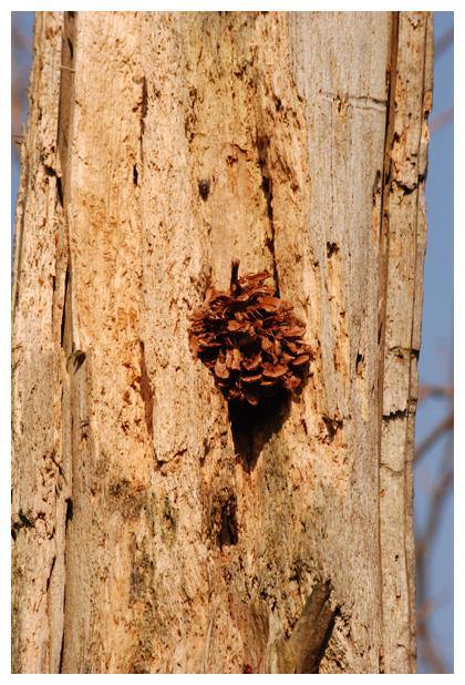 foto's, Grote bonte specht (Dendrocopos major), smidse