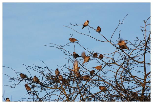 foto's, Ringmus (Passer montanus), mus
