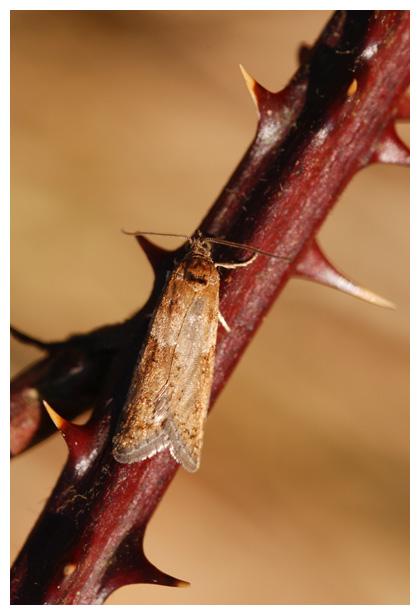 foto's, Voorjaarsbladroller (Tortricodes alternella), nachtvlinder