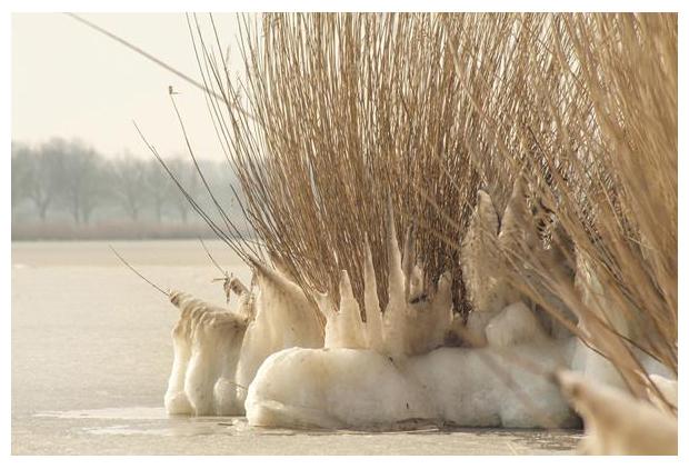 foto's, Echt riet (Phragmites australis syn. Phragmites communis), gras