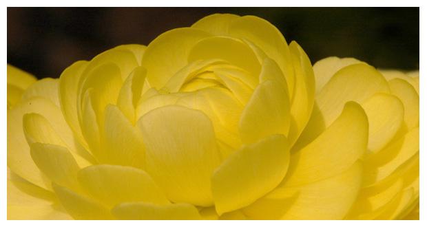 foto´s, Ranonkel (Ranunculus asiaticus), tuinplant