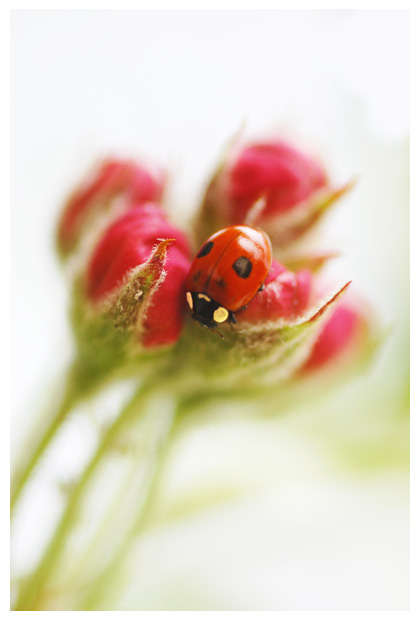 foto's, Tweestippelig (Adalia bipunctata), kever