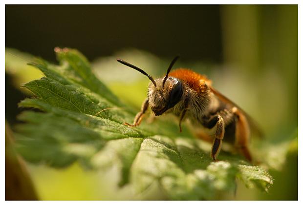 Groefbij (Lasioglossum calceatum), bij, bijen, bijfoto, bijenfoto