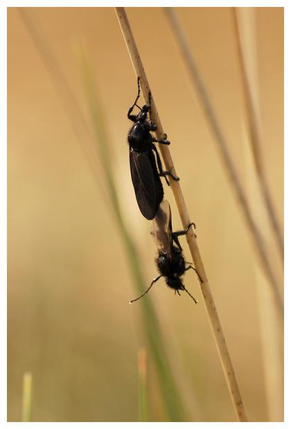 maartse vlieg, zwarte vlieg of rouw vlieg (bibio marci)