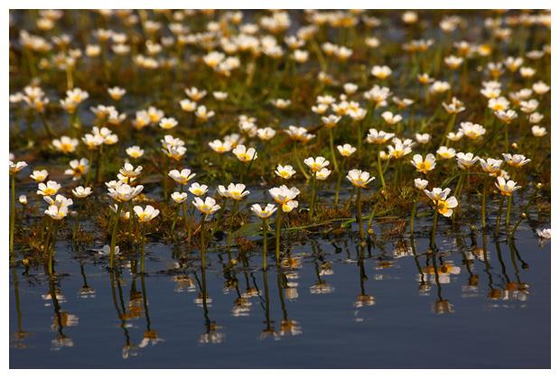 foto's, Fijne waterranonkel, Haarbladwaterranonkel (Ranunculus aquatilis), waterplant