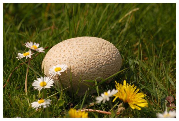 ruitjesbovist (calvatia utriformis), ruitjesbovisten, paddenstoel, paddenstoelen, paddenstoelfotos, paddenstoelfoto´s, paddenstoelenfoto, paddenstoelenfoto´s, paddestoel, paddestoelen, paddestoelfoto´s, paddestoelenfoto, paddestoelenfoto´s, de bovist, bovisten, eetbaar, eetbare
