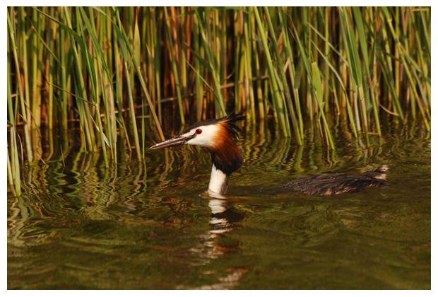 foto's, Fuut (Podiceps cristatus), vogel