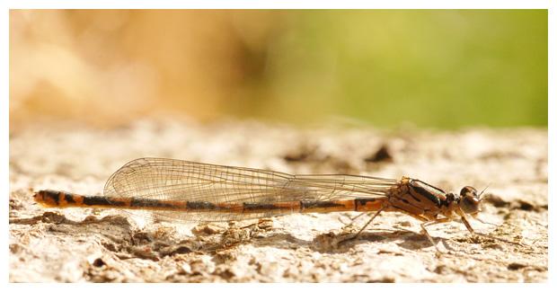 variabele waterjuffer (coenagrion pulchellum), variabel juffer, juffers, juffertje, juffertjes, waterjuffer,  waterjuffers, waterjuffertje, waterjuffertjes, waterjuffer´s, waterjuffer's,  waterjufferfoto´s, pas uitgeslopen, vrouwtje, insect, insecten, insekt, insekten