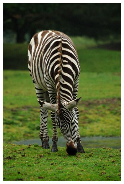 foto's, Grévyzebra of Grévy zebra (Equus grevyi)