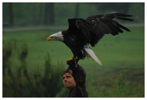 amerikaanse zeearend (haliaeetus leucocephalus) (witkopzeearend, bald eagle) is een roofvogel, arend, arenden, vogel, vogels, vogelfotos, vogelfoto´s, roofvogel, roofvogels, roofvogelfoto´s, roofvogelfotos, stootvogel, stootvogels,  wildedieren, wild dier, wilde dieren, wilden dierenfotos, dierenfoto´s, dierenfotos, gemaakt in beeksebergen hilvarenbeek, beekse bergen, safaripark, safari park