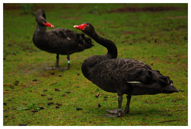 zwarte zwaan (cygnus atratus), zwart, zwarten zwanen, zwaantje, zwaantjes, zwanenfotos, zwanenfoto´s, vogel, vogels, vogelfotos, vogelfoto´s, watervogel, watervogels, dier, dieren, dierenfoto´s, dierenfotos