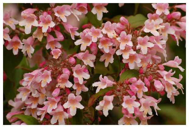 kolkwitzia amabilis ´pink cloud´, voorjaarsheester, bladverliezend,
