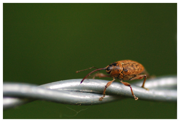 hazelnootboorder (curculio nucum)