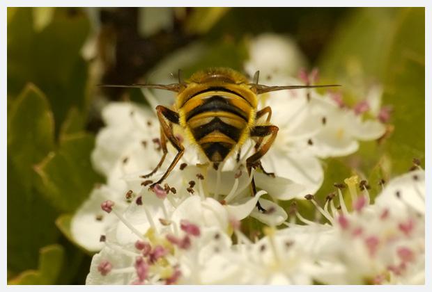 doodskopzweefvlieg (myathropa florea), doodskopzweefvliegen, doodskopzweefvliegfoto´s, doodshoofdzweefvlieg,  familie zweefvliegen (syrphidae), zweefvlieg, zweefvliegen, zweefvliegje, zweefvliegjes, zweefvliegfoto´s, zweefvliegfotos, insect, insecten, insekt, insekten