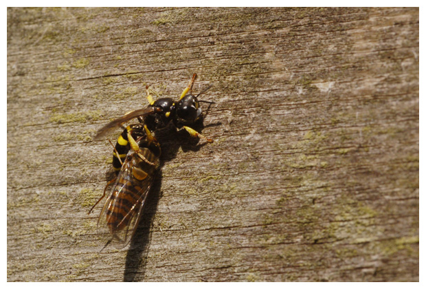 foto's, Graafwespen (Crabronidae), insect