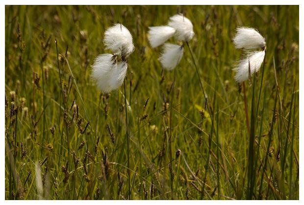 foto's, Veenpluis (Eriophorum angustifolium), gras