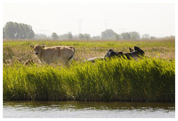foto's, koe, koeien, koeienfotos, koeienfoto