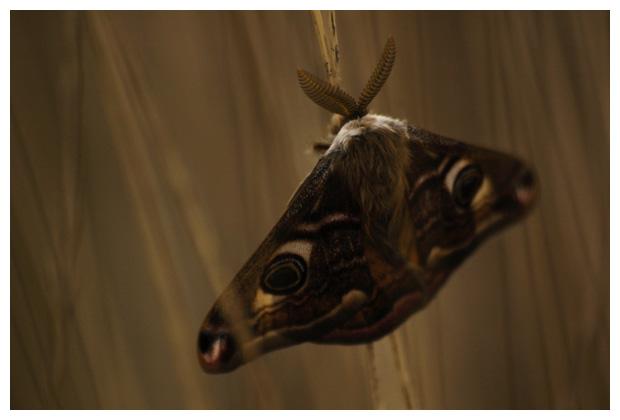 foto's, Nachtpauwoog (Eudia pavonia), nachtvlinder