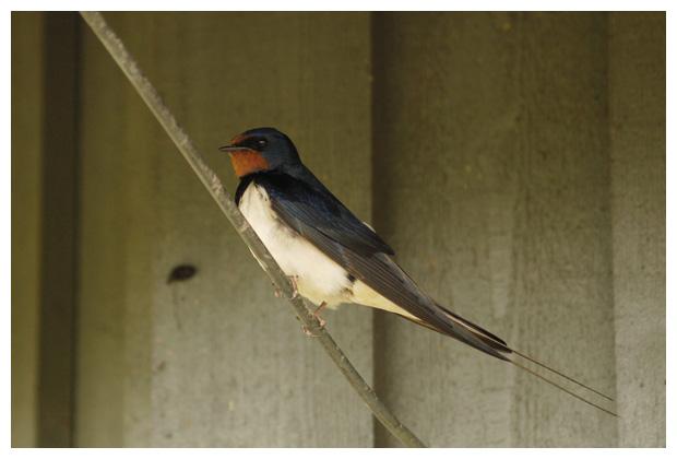 foto's, Boerenzwaluw (Hirundo rustica), vogel