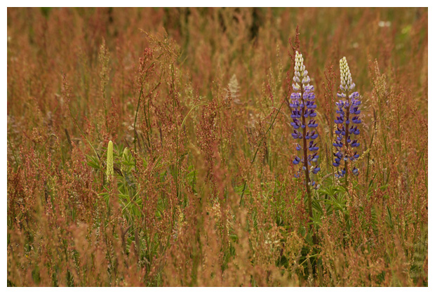 foto's, Lupine (lupinus polyphyllus), plant