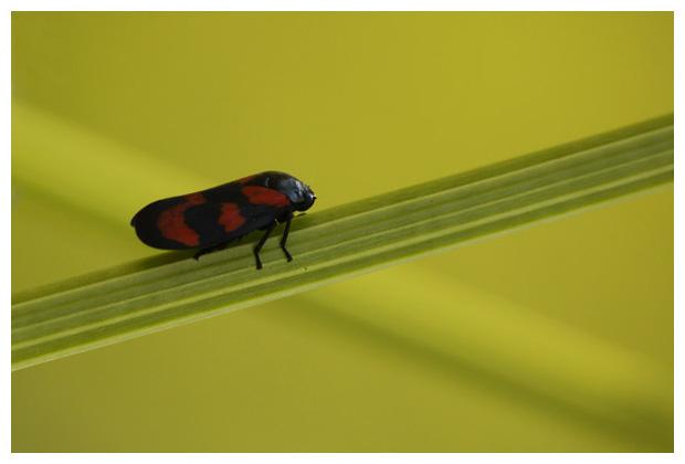 foto's, Bloedcicade (Cercopis vulnerata), cicaden, (Cercopoidea)