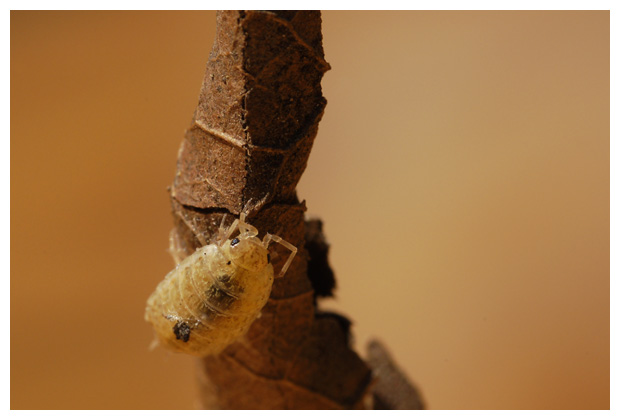 foto's, Ruwe pissebed of gewone pissebed (Porcellio scaber)