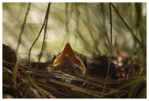 foto's, Merel (Turdus merula), vogel