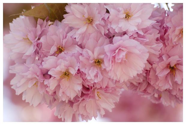 foto's, Japanse sierkers (Prunus serrulata), boom