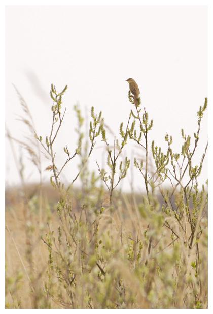 foto's, Sprinkhaanzanger (Locustella naevia), vogel