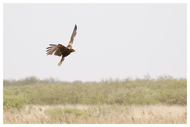 foto's, Bruine kiekendief (Circus aeruginosus), vogel