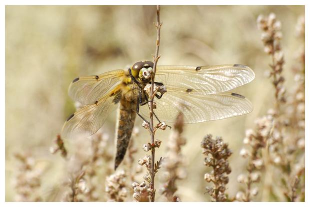foto's, Viervlek (Libellula quadrimaculata), vlibel