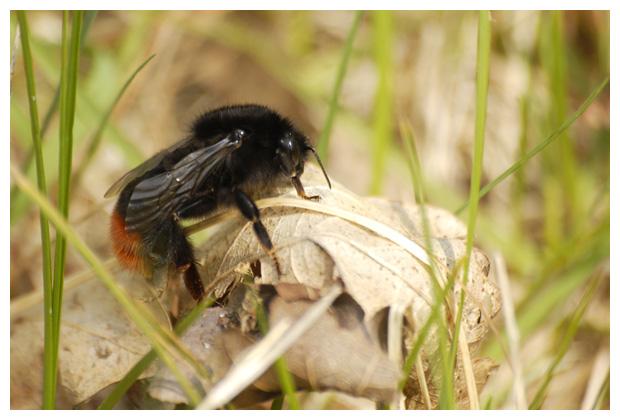 foto's, Steenhommel (Bombus lapidarius), hommels