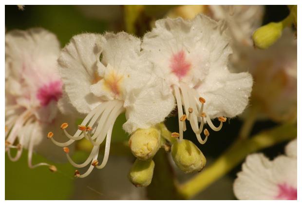 foto's, Witte paardenkastanje (Aesculus hippocastanum), kastanje