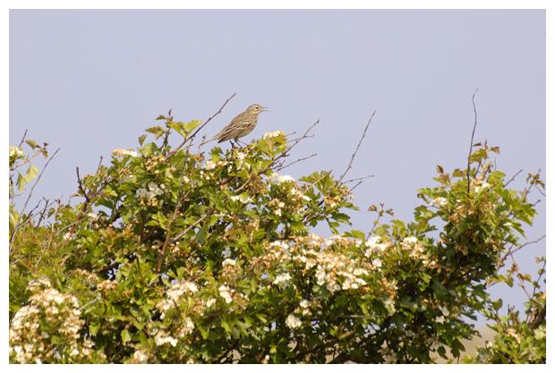 foto´s, Boompieper (Anthus trivialis)