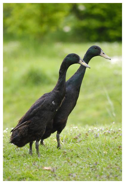 foto's, Indische loopeenden, vogel