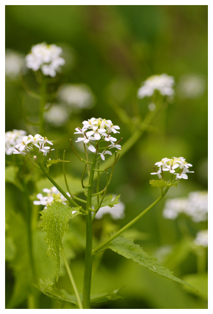 foto's, Look-zonder-look (Alliaria petiolata, alliaria officinalis)