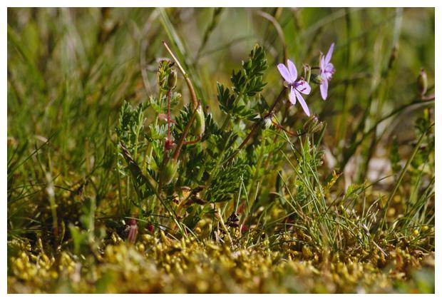 foto´s, Duinreigersbek (Erodium cicutarium subsp. dunense Andreas), plant