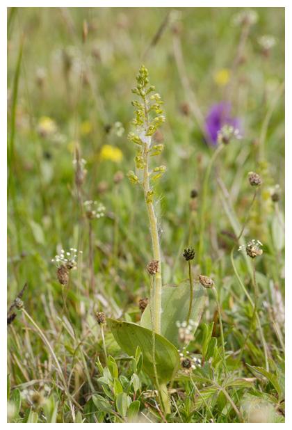 foto's, Grote keverorchis (Neottia ovata, synoniem: listera ovata), orchidee