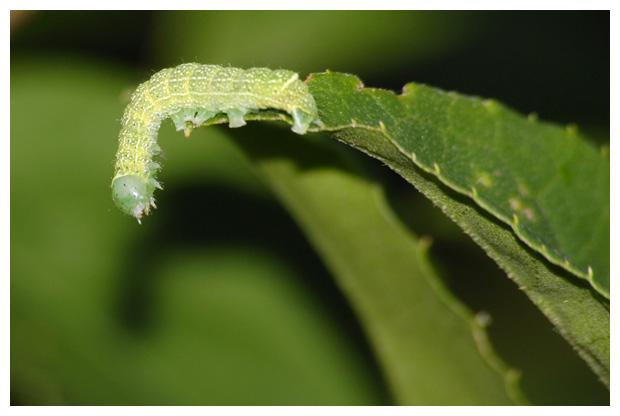 foto´s, Tweestreepvoorjaarsuil (Orthosia cerasi), rups