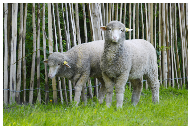 foto's, Ryeland, schapenras, schaap, dier