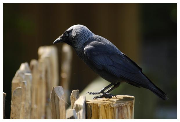 foto's, Kauw (Corvus monedula), vogel