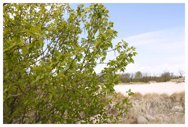 foto´s, balsempopulier (Populus trichocarpa)