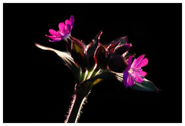 foto's, Dagkoekoeksbloem (Silene dioica syn. melandrium rubrum)