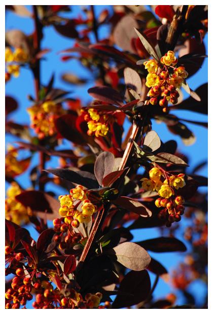 foto's, Japanse berberis (Berberis thunbergii), zuurbes