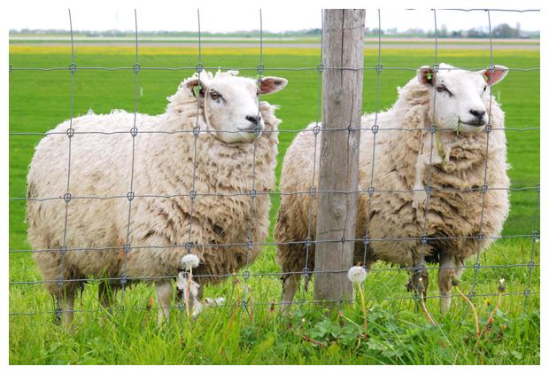 foto's, Texelaar, schapenras, schaap (Ovis), dier