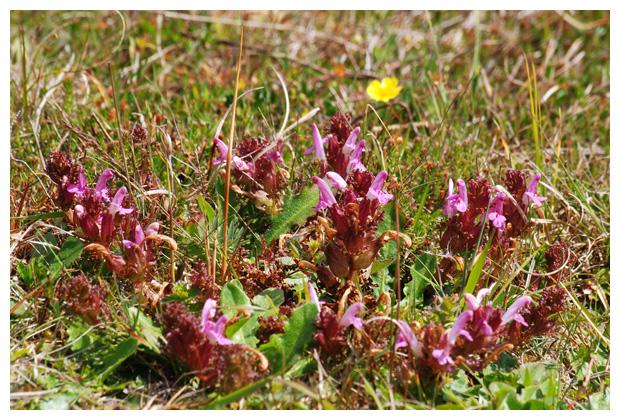foto´s, Heidekartelblad (Pedicularis sylvatica), plant