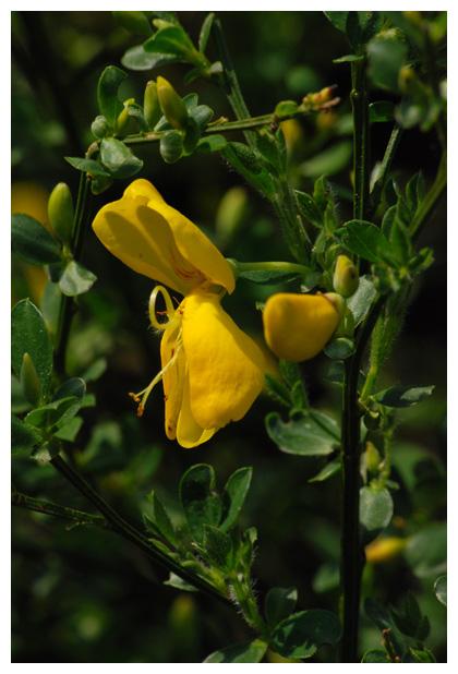 foto´s, Gewone brem (Cytisus scoparius), struik