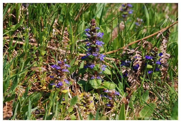 foto's, Kruipend zenegroen (Ajuga reptans), plant